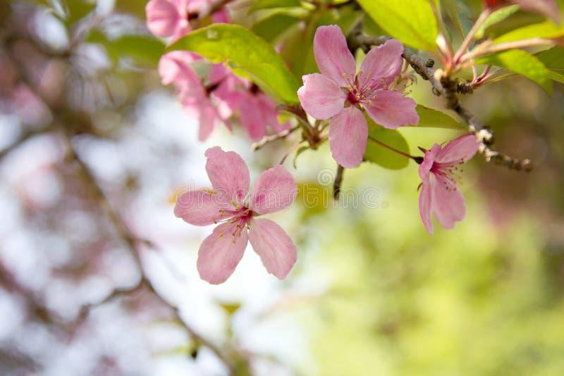Árvore de florescência com flores cor-de-rosa fotos de stock