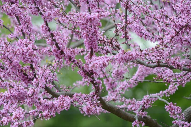 Árvore de florescência de Redbud da mola fotografia de stock royalty free