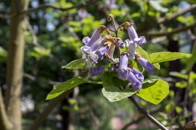 Árvore de florescência decorativa do tomentosa do Paulownia, ramos com folhas verdes, sementes e flores de sino violetas fotografia de stock