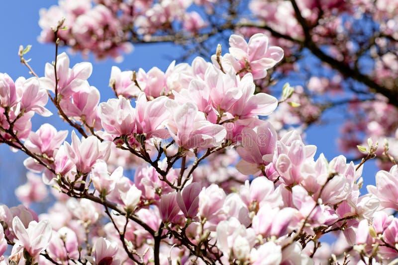 Árvore de florescência do magnolia fotos de stock royalty free