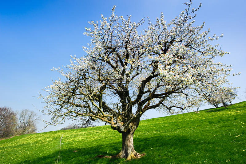 Árvore de florescência na mola foto de stock royalty free