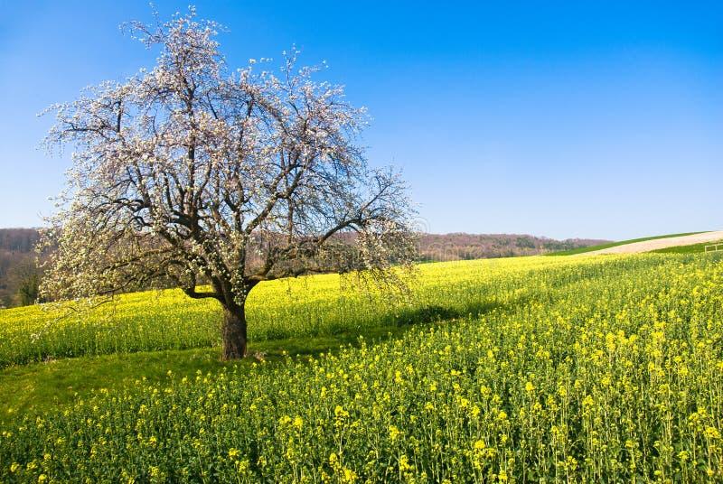 Árvore de florescência na mola imagem de stock royalty free