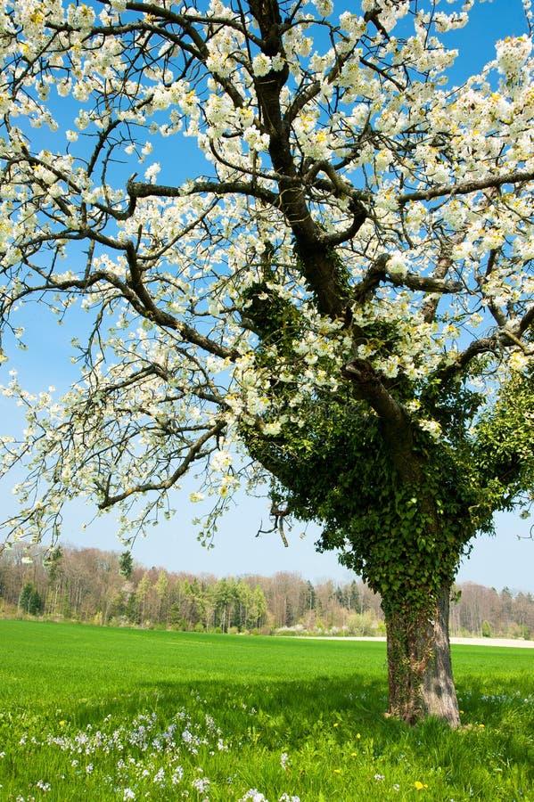 Árvore de florescência na mola imagens de stock royalty free