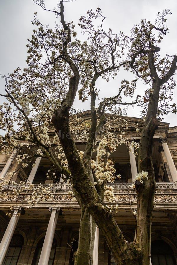 Árvore de florescência no jardim na frente do palácio de Dolmabahce em Istambul, Turquia imagens de stock