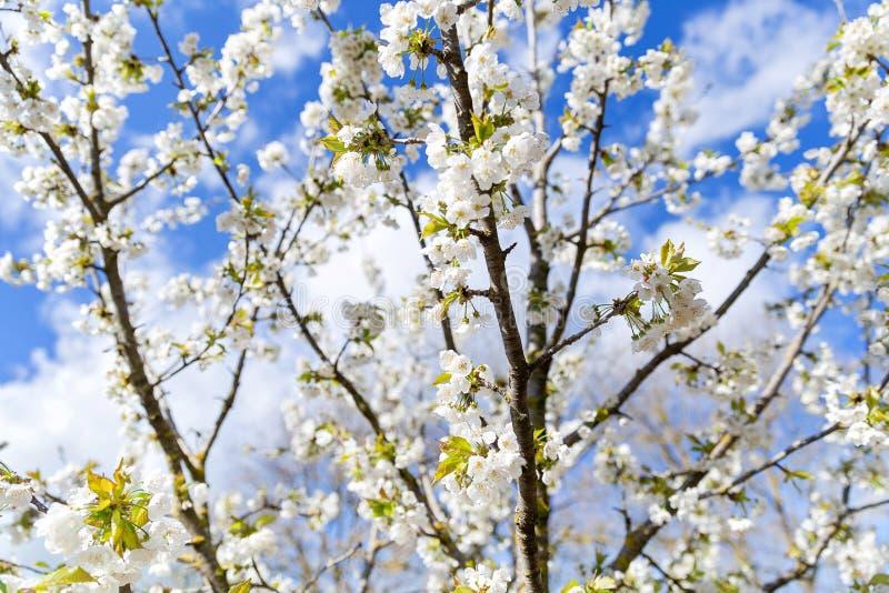 Árvore de florescência no pomar imagem de stock