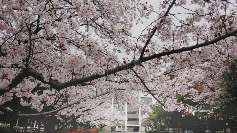 Árvore de florescência de sakura imagem de stock royalty free