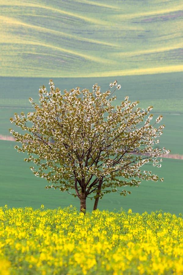 Árvore de florescência sobre campos amarelos e verdes - mola abstrata fotos de stock