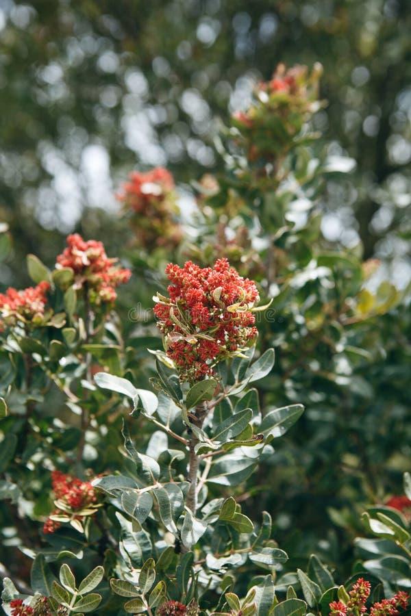 Árvore de florescência Um ramo de uma árvore com flores vermelhas e verde sae em um dia ensolarado imagens de stock