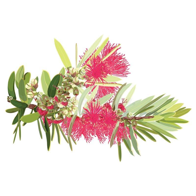 Árvore de florescência vermelha australiana do Bottlebrush