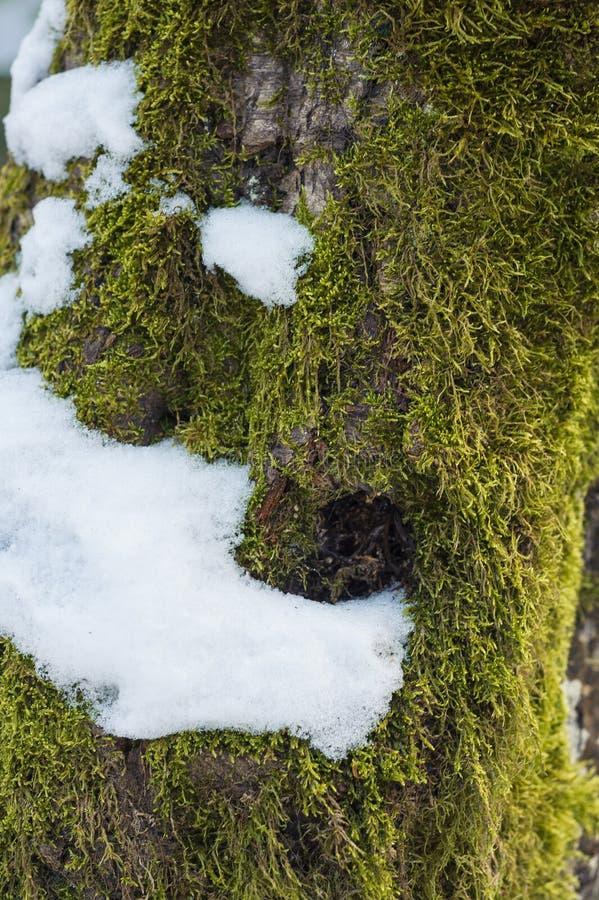 Árvore de floresta musgoso alterada Digital do barkwinter da textura fotos de stock royalty free