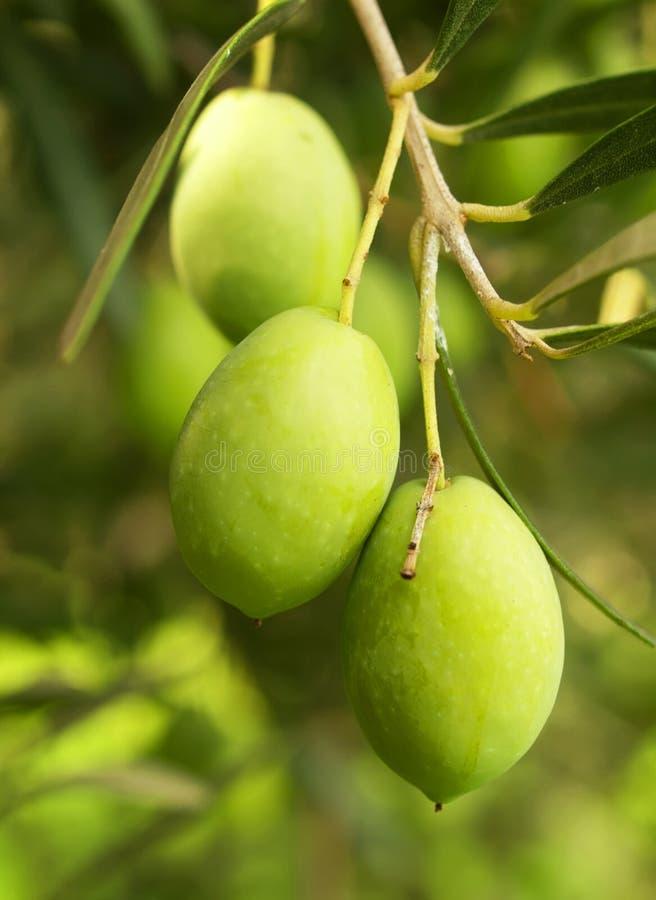 Árvore de fruta verde-oliva imagem de stock royalty free