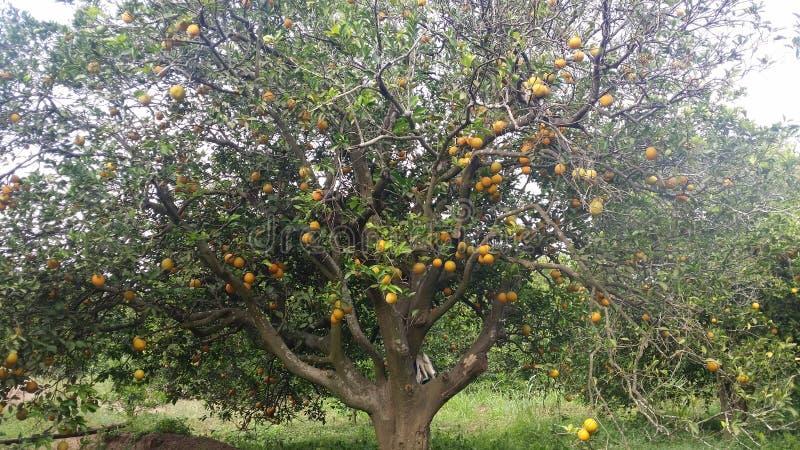 Árvore de fruto fotos de stock