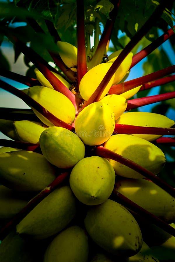 Árvore de fruto amarela da papaia imagens de stock