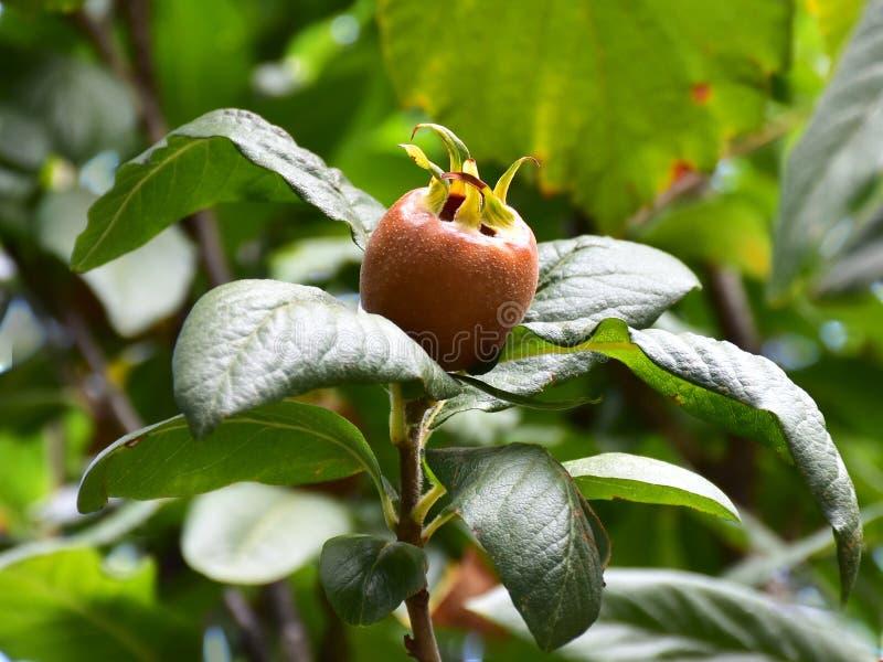 Árvore de fruto da nêspera imagem de stock royalty free