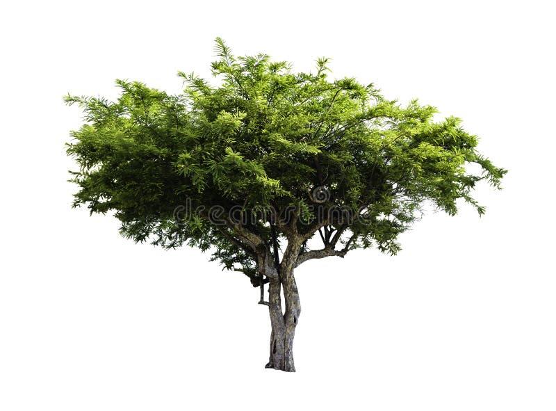Árvore de fruto de Amla isolada imagens de stock