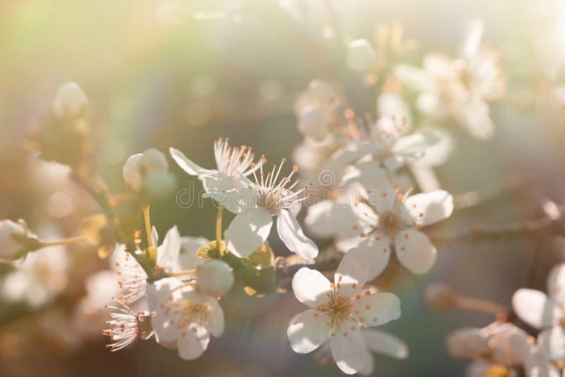 Árvore de fruto (de florescência) de florescência bonita fotografia de stock