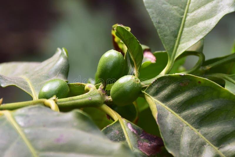Árvore de fruto do café, África tropical imagem de stock royalty free