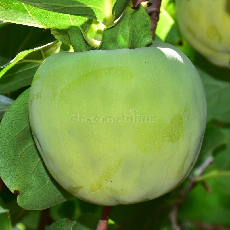 Árvore de fruto do caqui, unripened imagem de stock royalty free