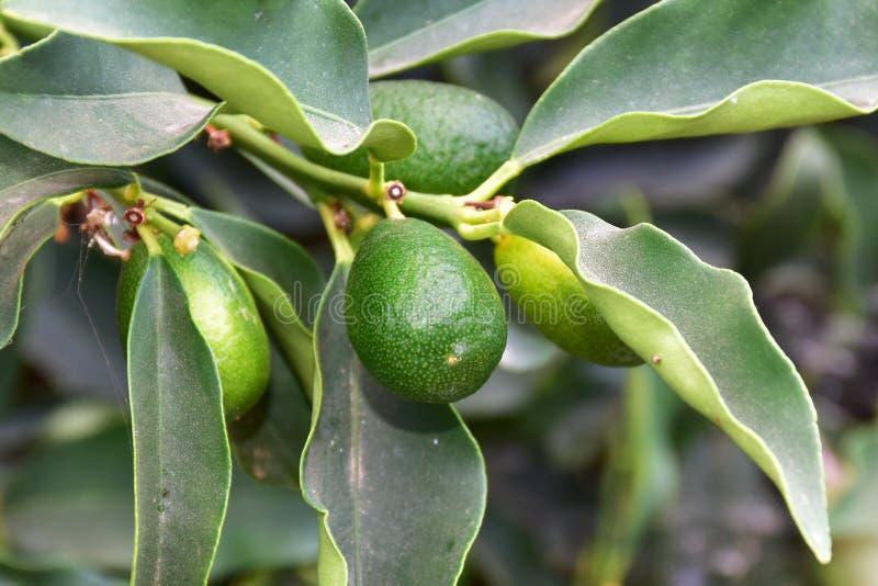 Árvore de fruto do Kumquat imagem de stock