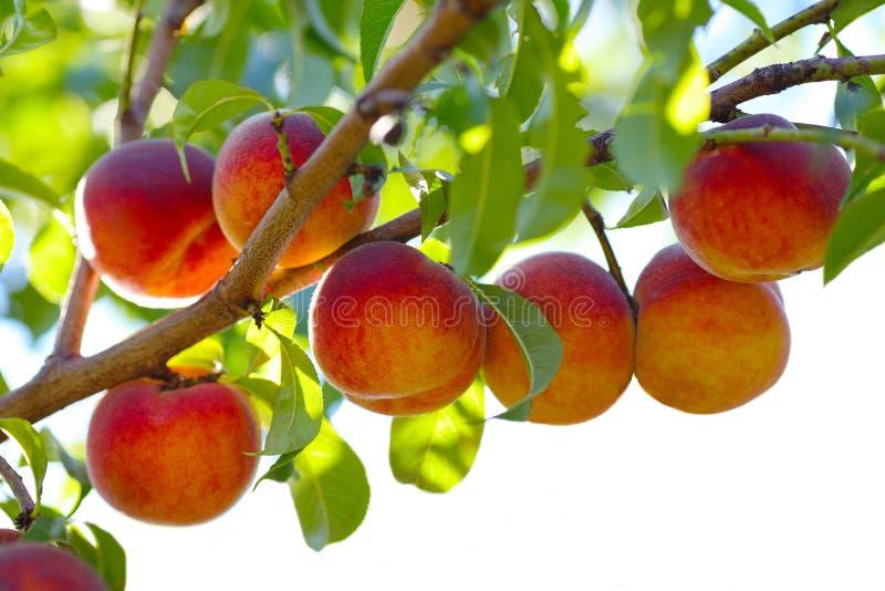 Árvore de fruto do pêssego fotos de stock