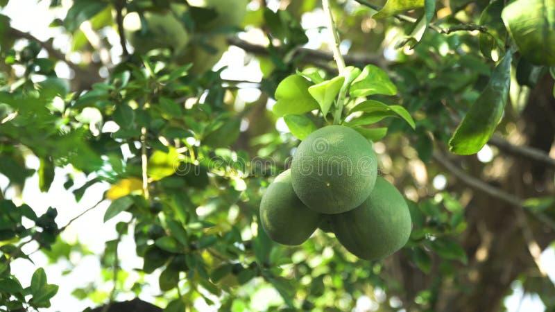 Árvore de fruto do Pomelo no jardim fotografia de stock royalty free