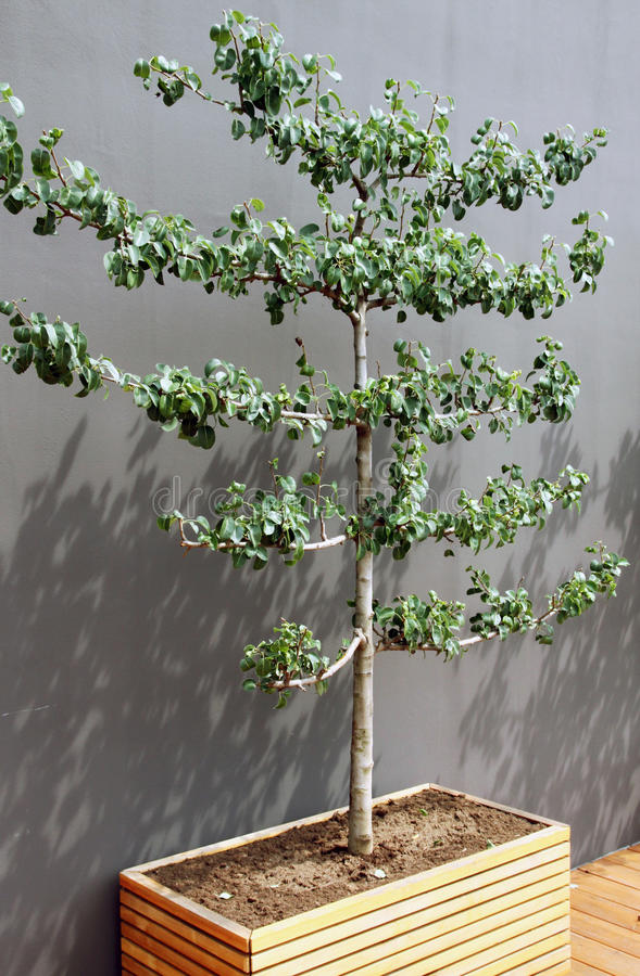 Árvore de fruto em um potenciômetro fotografia de stock