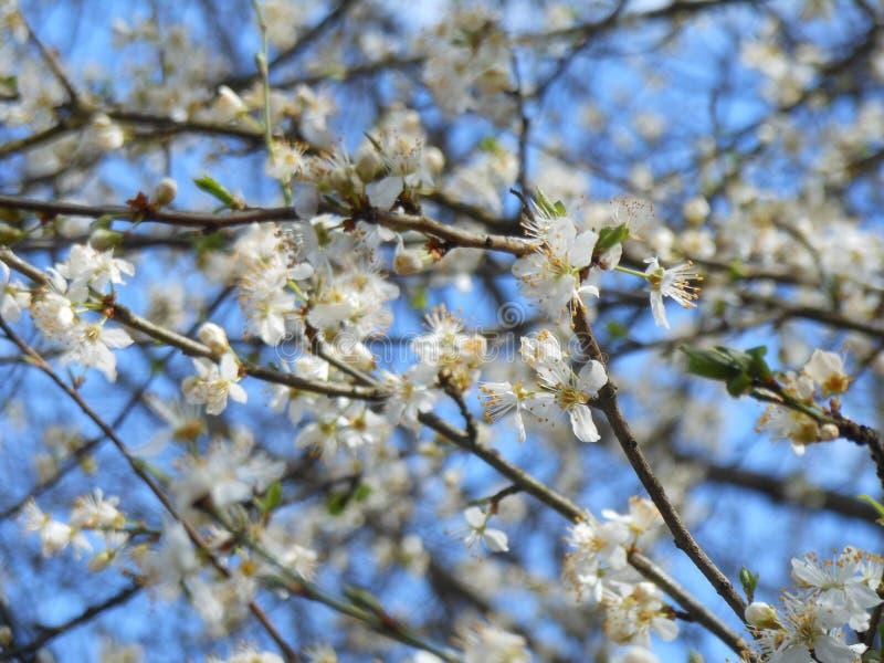 A árvore de fruto de florescência com as flores brancas na mola jardina O tempo de mola… aumentou as folhas, fundo natural fotografia de stock royalty free