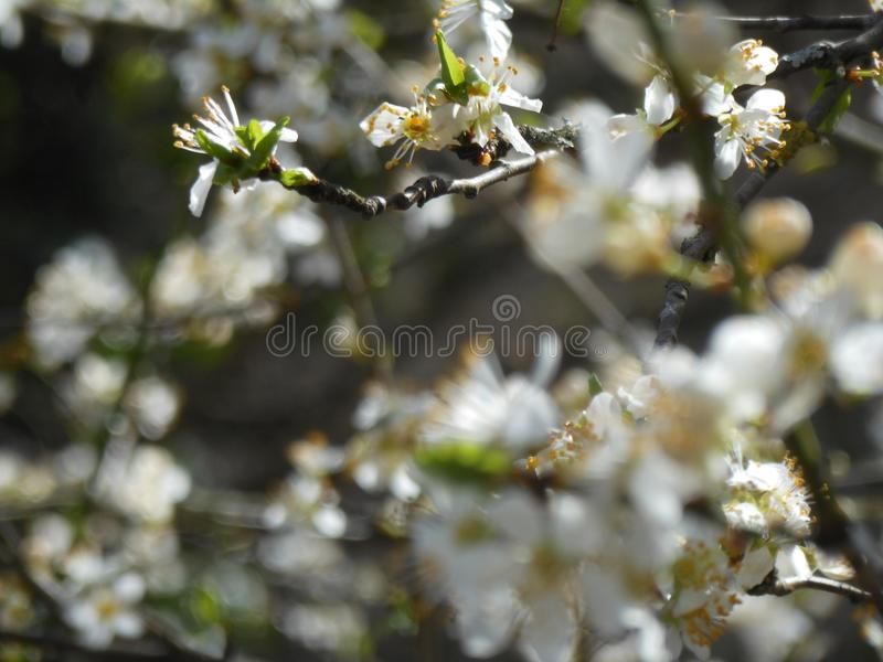 A árvore de fruto de florescência com as flores brancas na mola jardina O tempo de mola… aumentou as folhas, fundo natural imagens de stock