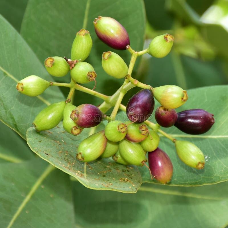 Árvore de fruto de Jambolan fotos de stock