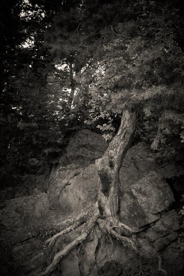 Árvore de Ghost na natureza fotografia de stock royalty free