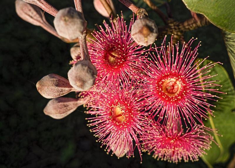 Árvore de goma australiana do eucalipto das flores vermelhas fotografia de stock