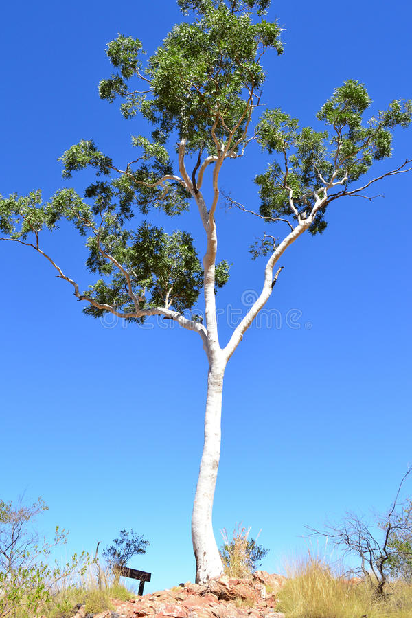 Árvore de goma branca imagem de stock royalty free