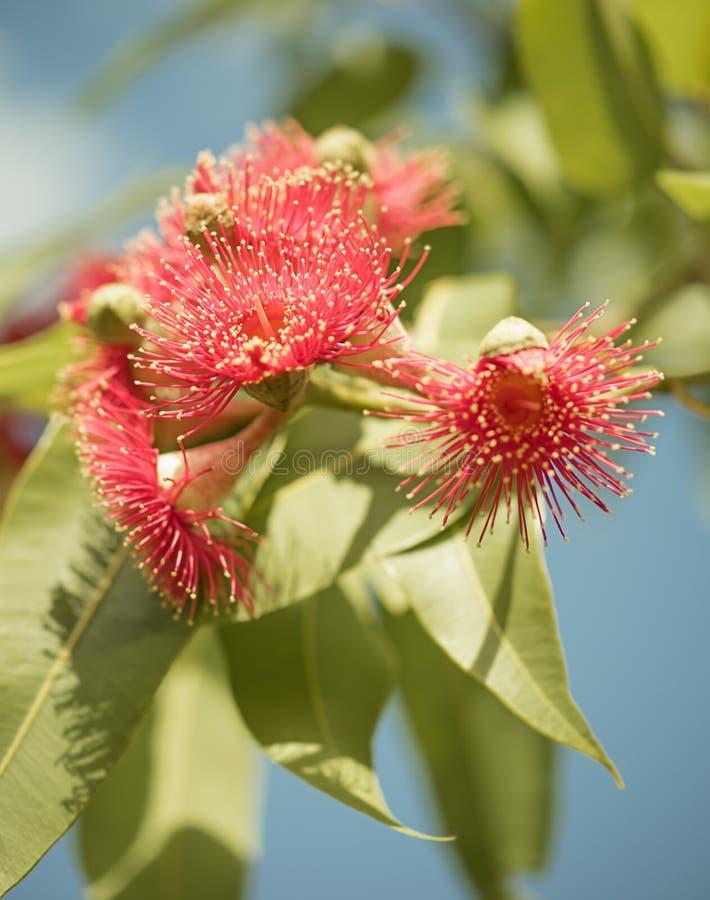 Árvore de goma de florescência nativa australiana fotografia de stock