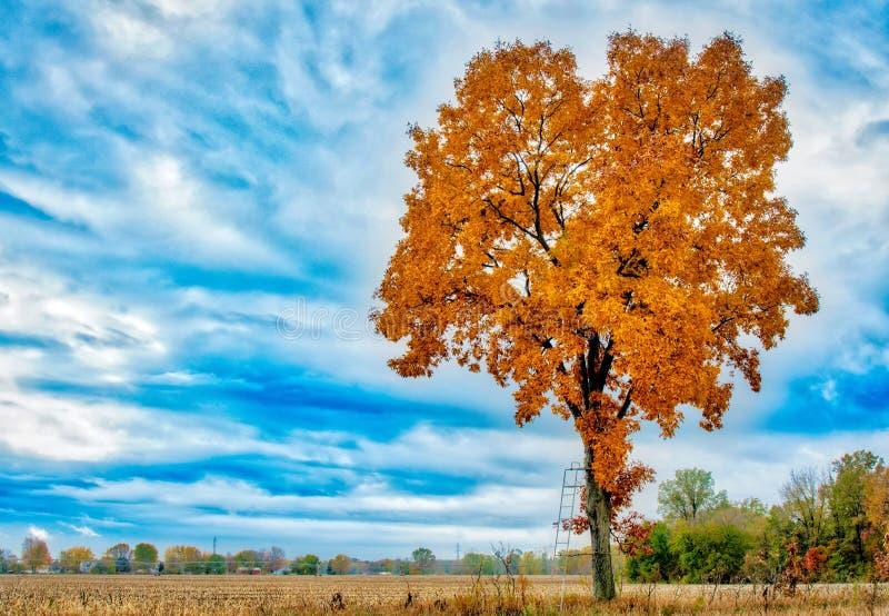 Árvore de hicória amarela e alaranjada majestosa do tempo de queda imagens de stock