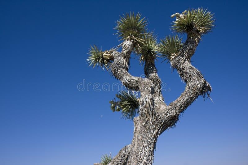 Árvore de Joshua imagens de stock