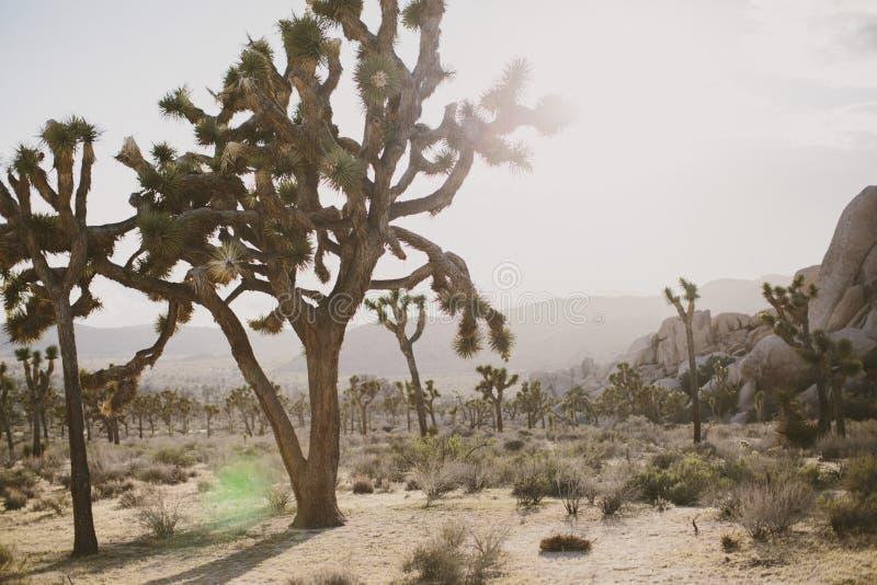 Árvore de Joshua no deserto imagens de stock royalty free