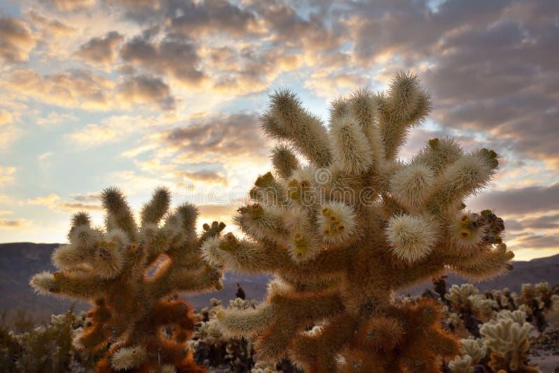 Árvore de Joshua P nacional do por do sol do jardim do cacto de Cholla fotografia de stock royalty free