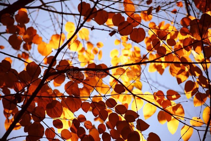 Árvore de Katsura das folhas de outono foto de stock