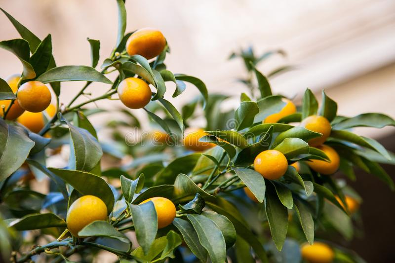 Árvore de Kumquat imagens de stock royalty free