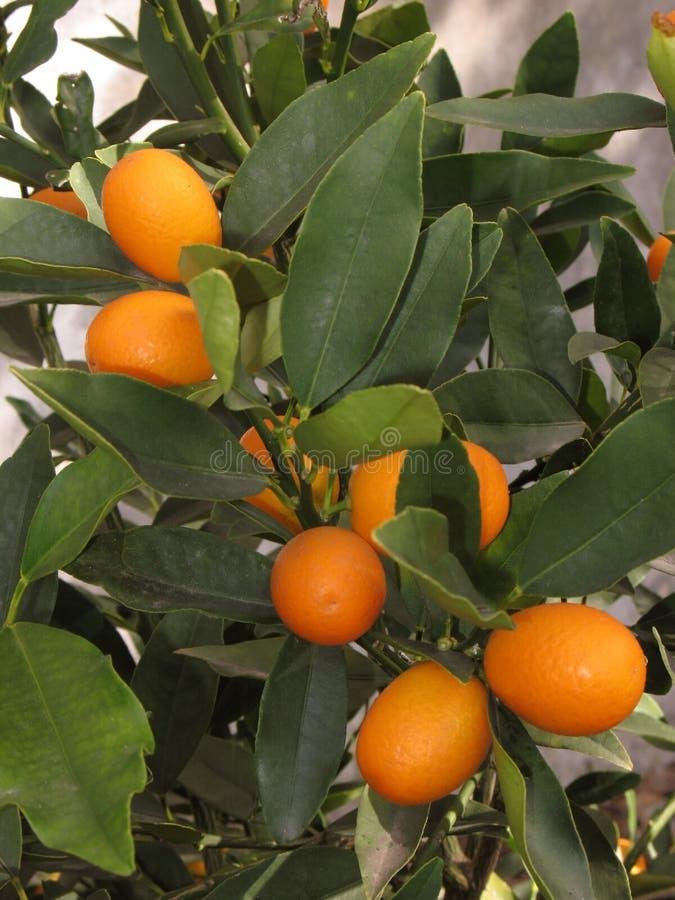 Árvore de Kumquat imagens de stock