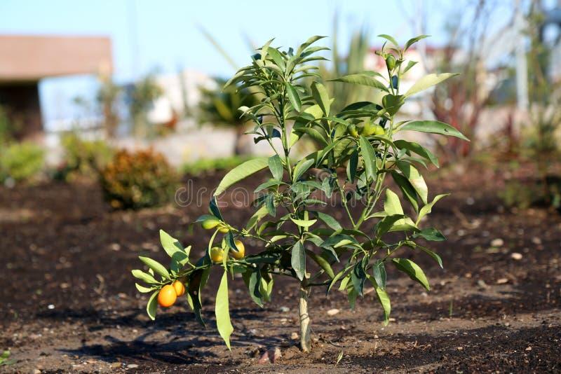 Árvore de Kumquat imagem de stock royalty free