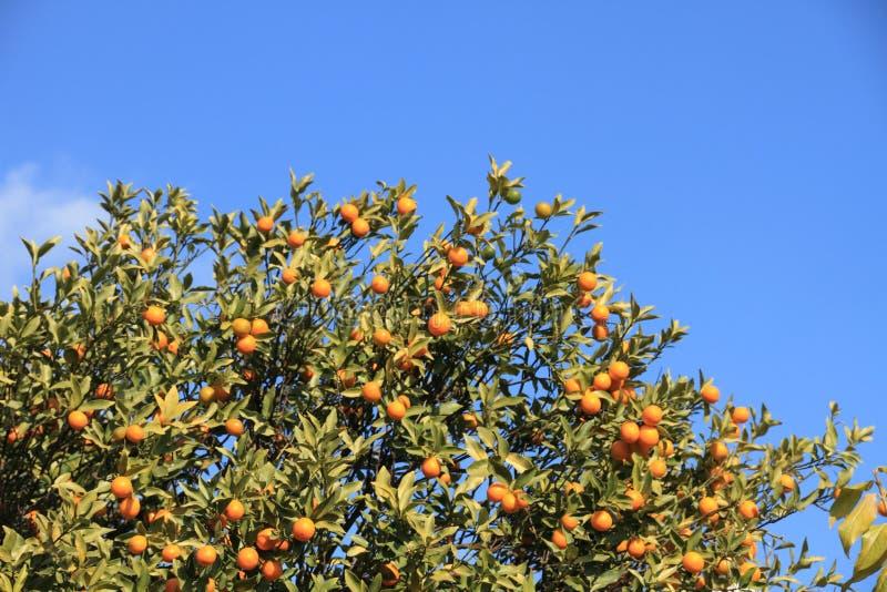 Árvore de Kumquat e céu azul fotos de stock royalty free