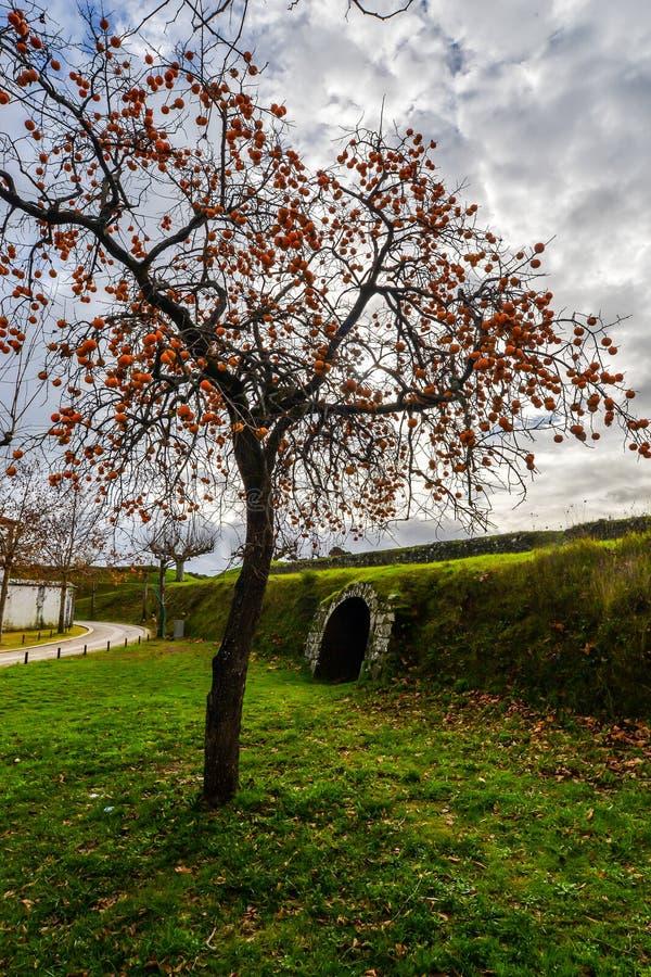 Árvore de Kumquat em Tui - Portugal foto de stock
