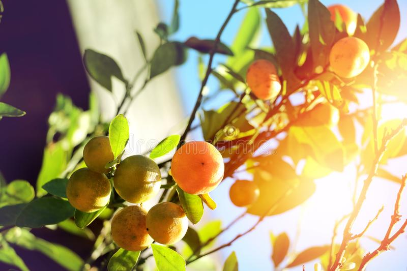 Árvore de Kumquat, laranja doce suculenta madura de árvore alaranjada fotos de stock royalty free