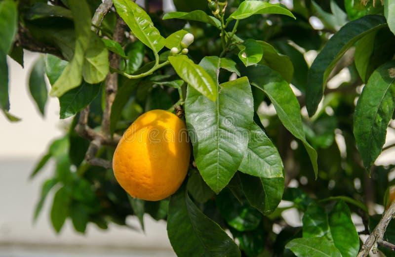 Árvore de Kumquat no jardim da ilha de Mainau imagens de stock