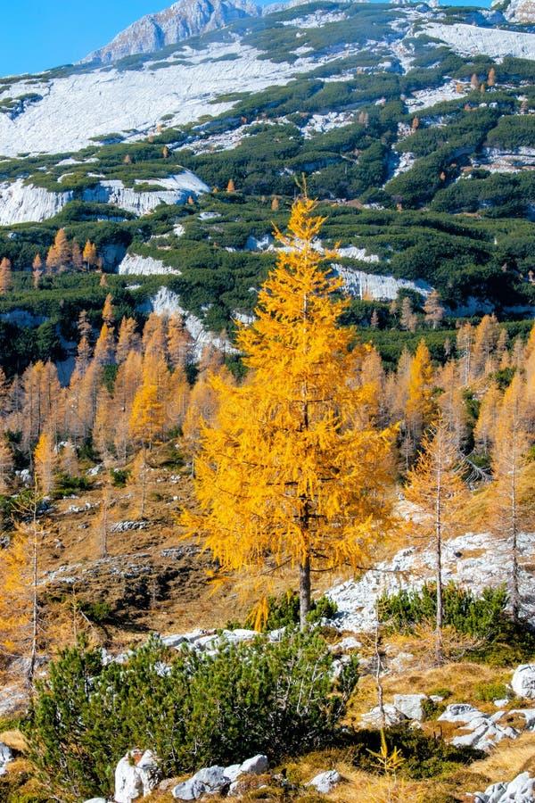 Árvore de larício amarela alta nas montanhas imagem de stock royalty free