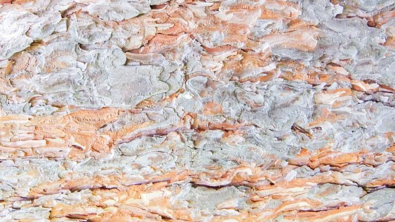Árvore de larício nova da casca do foto a boa na mola Dobras ásperas, textura da natureza Textura detalhada da luz da casca imagens de stock