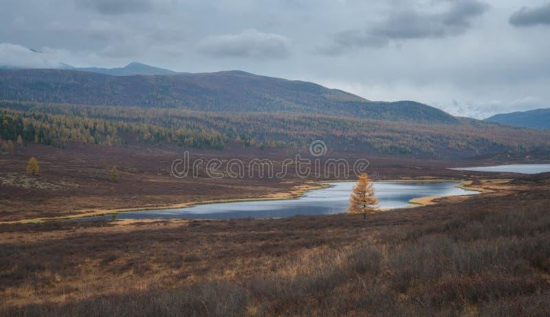Árvore de larício só no banco de rio na perspectiva da paisagem do outono fotografia de stock