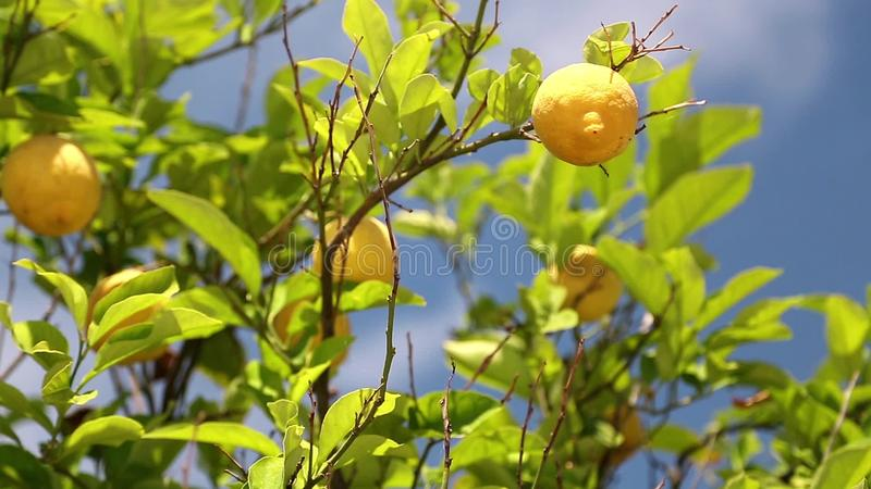 Árvore de limão video estoque