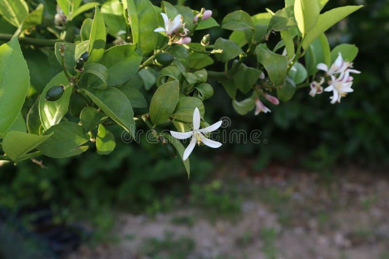 Árvore de limão com flores e frutos no jardim imagem de stock